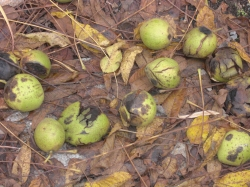 Walnuts, Leaves & Stems in the Garden