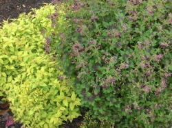 Lime & burgundy garden