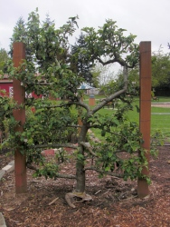 Espalier apple trees