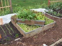 Sweet little lettuce bed - Food Bank Garden