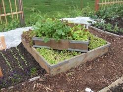 Sweet little lettuce bed - Food Bank Garden