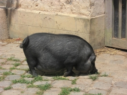 French pigs sure are cute