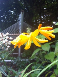 Yellow Crocosmia