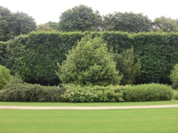 Large trees hedged for privacy