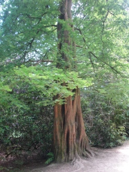 Beautiful Redwood?