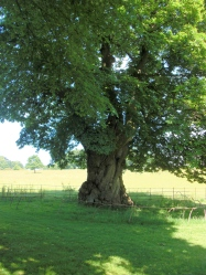 300 year old nut tree