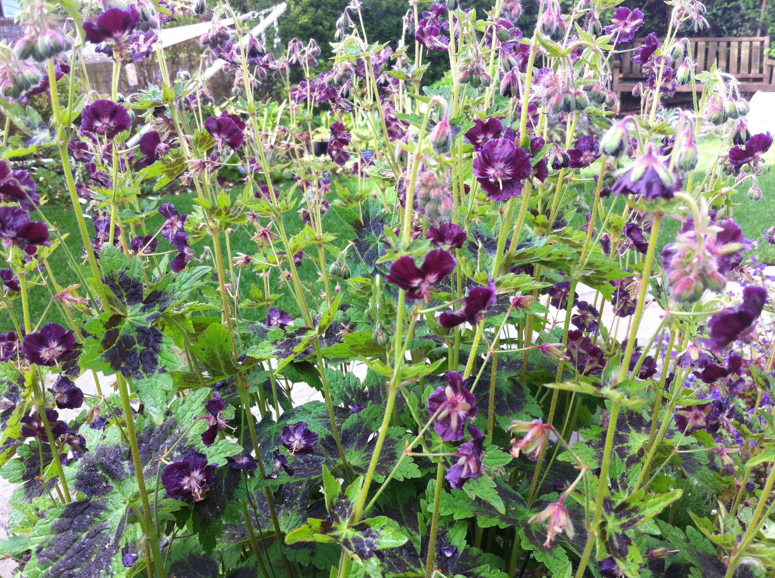 Geranium phaeum 'Samobor' | Gardening in My Rubber Boots