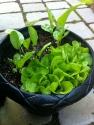 Garden Baby Butterhead Lettuce & Horseradish Root